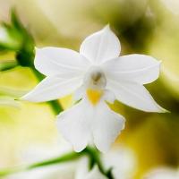 Wild orchids of Reunion Island (Orchidées sauvages de l'Île de la Réunion)